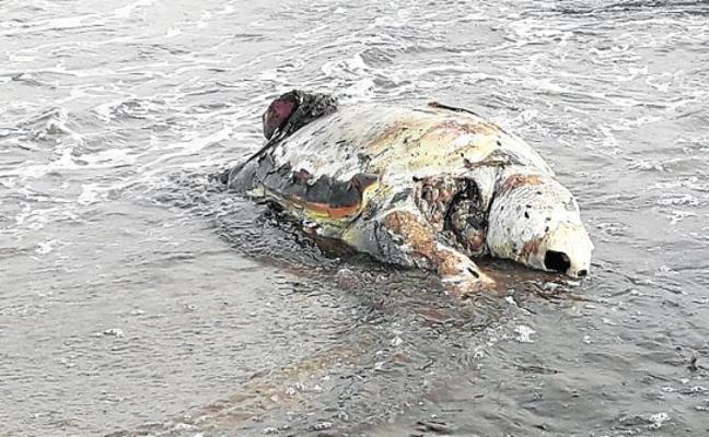 Una tortuga boba muerta en La Manga
