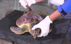 Una tortuga rescatada en San Javier se recupera en el Oceanogràfic de Valencia