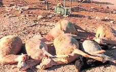 Perros asilvestrados matan a seis ovejas y dejan malheridas a quince en un corral