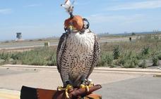 Doce halcones 'barren' el espacio aéreo del aeropuerto para evitar accidentes