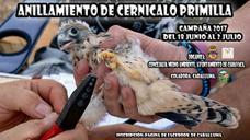El paraje de La Junquera acoge una jornada de anillamiento del cernícalo primilla