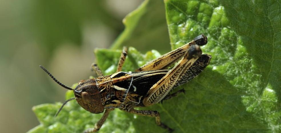 Agricultura interviene en unas 1.000 hectáreas contra la plaga de langosta en los municipios de Caravaca, Moratalla, Aledo, Jumilla y Yecla
