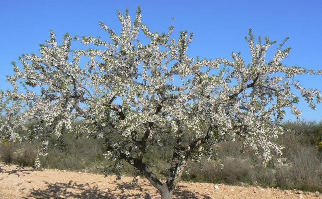 Ensayan nuevas variedades de almendro que eviten su desaparición