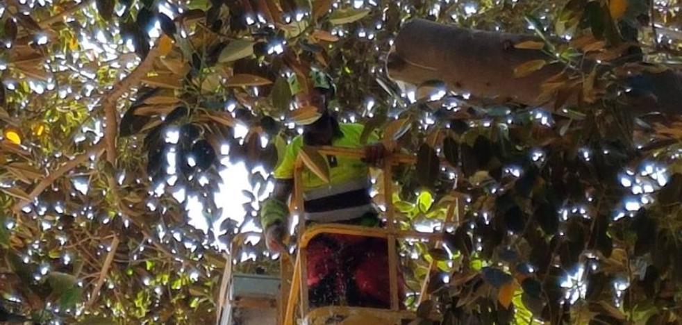 Cortan en Floridablanca una rama de dos toneladas a punto de caerse