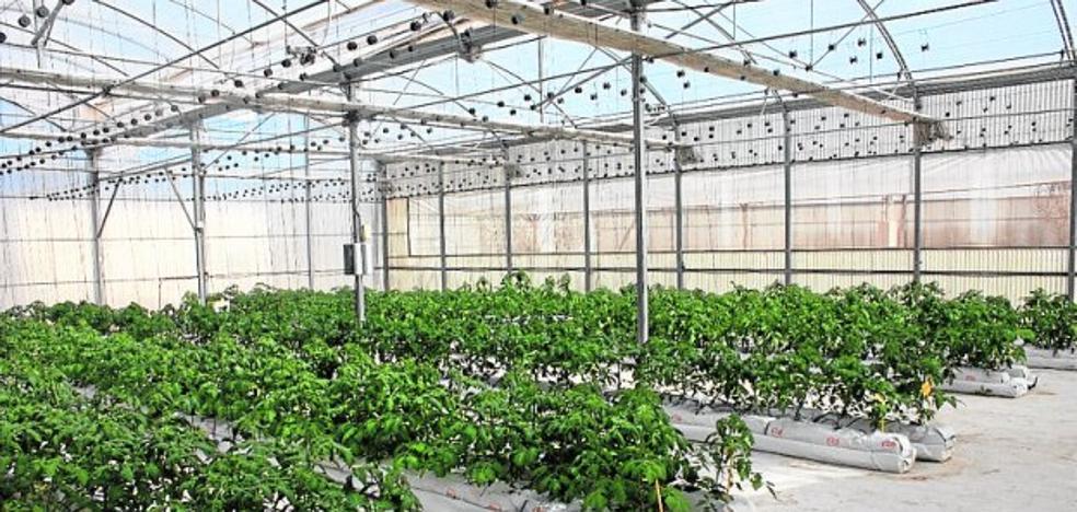 Ensayan tomates sobre fibra de coco como alternativa al cultivo de pimiento
