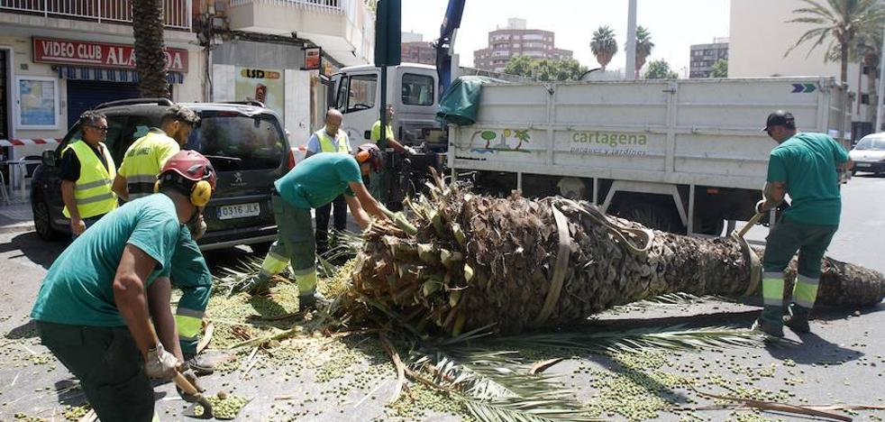 Susto en Cartagena al desplomarse una palmera sobre un coche en plena Alameda de San Antón
