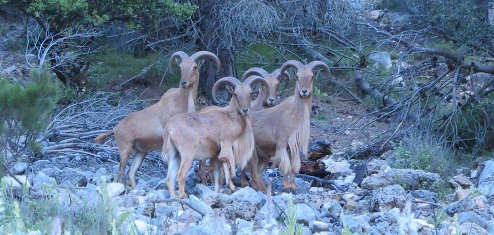 Medio Ambiente ha abatido ya a 2.220 arruís en Sierra Espuña