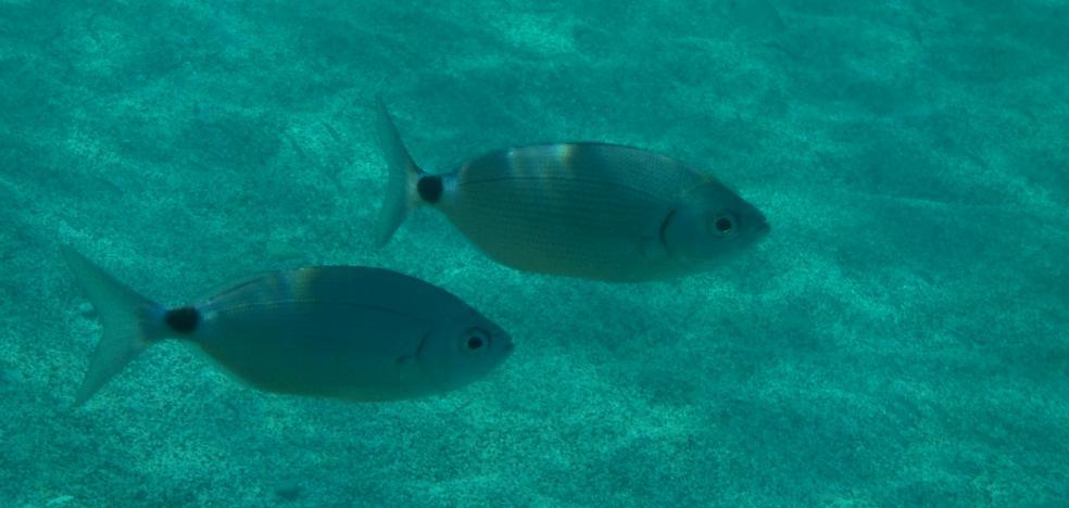 Aumentan los ataques de peces a bañistas en las playas del Mediterráneo