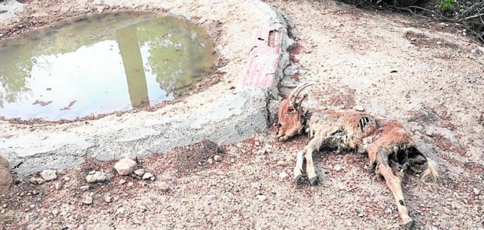 Los cadáveres de los 2.220 arruís abatidos se pudren en el parque de Sierra Espuña