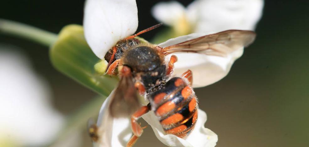 Agricultura realiza un ensayo sobre la aplicación de atrayente de abejas en el melón