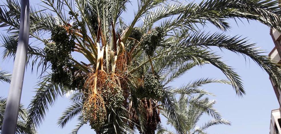 Parque y Jardines podará esta semana las palmeras de la calle Real y la Alameda