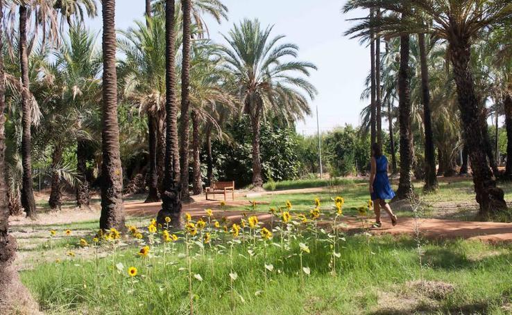 El palmeral grande de Zaraíche recupera su «paisaje primitivo»
