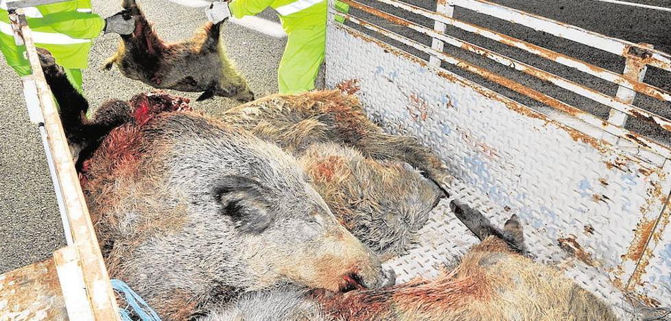Rechazan indemnizar a un conductor que chocó contra una manada de jabalíes en Mula
