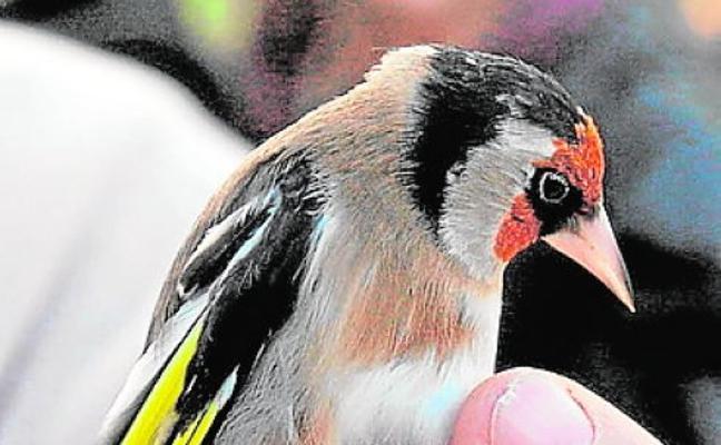 La Asamblea aprueba prohibir las capturas de fringílidos en la Región