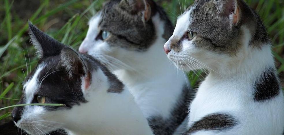 Un arañazo de su gato le impide tener erecciones