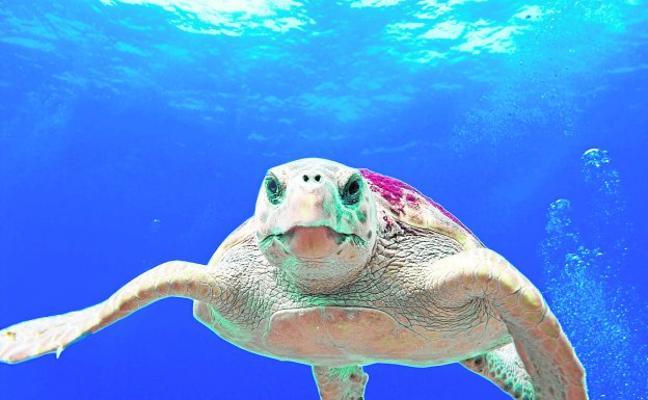 Las tortugas bobas eligen la Costa Cálida
