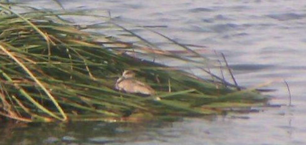 Detectan un pato en peligro de extinción en una isleta de la depuradora de Cabezo Beaza
