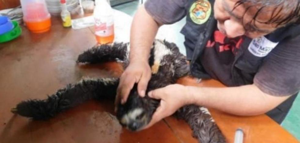 Caimanes con la boca grapada y osos perezosos golpeados: el lado oscuro del turismo