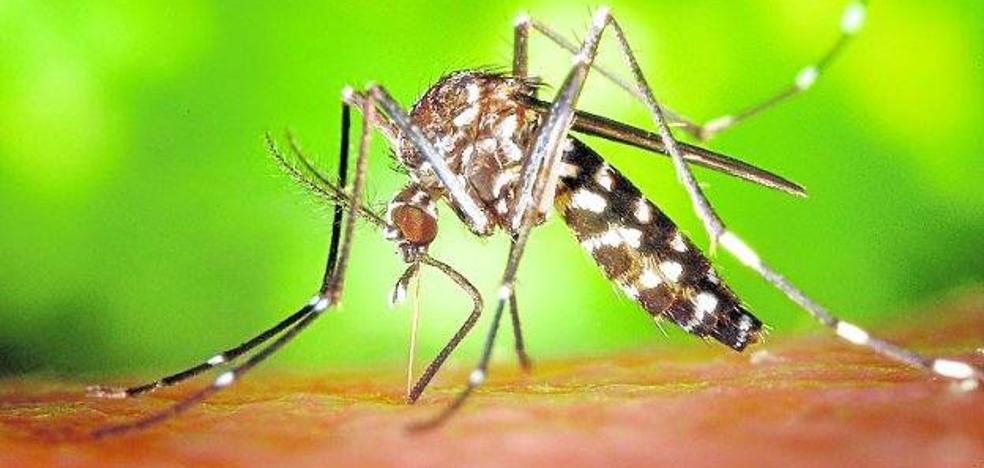 El mosquito tigre se hace inmune a los insecticidas
