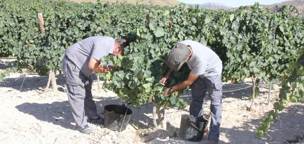 Uva de gran calidad marca la vendimia en Jumilla y Yecla, aunque merma la producción
