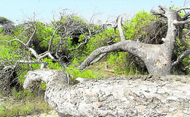 El Pinar de Coterillo de San Pedro alberga una población cercana a 4.000 ejemplares
