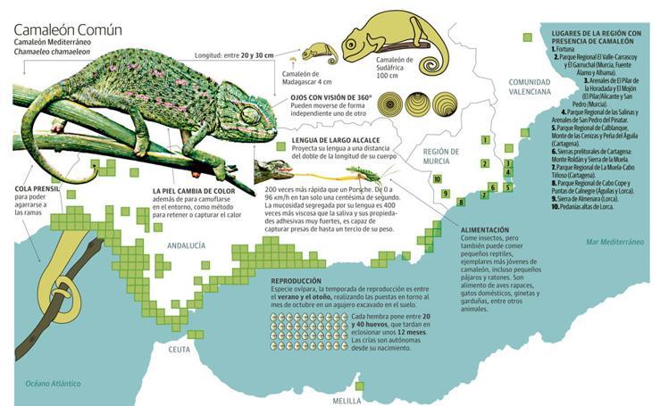 Camaleón Mediterráneo en la Región