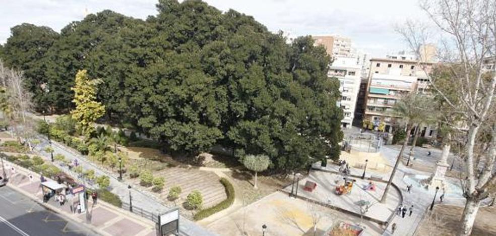 Revisan «rama a rama» los ficus de Floridablanca