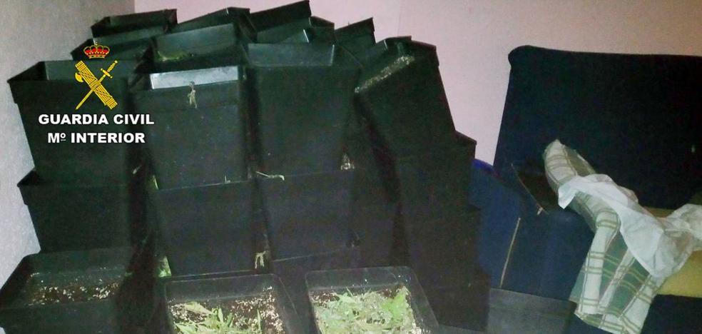 Desmantelan un invernadero de marihuana en una casa okupa de Alguazas
