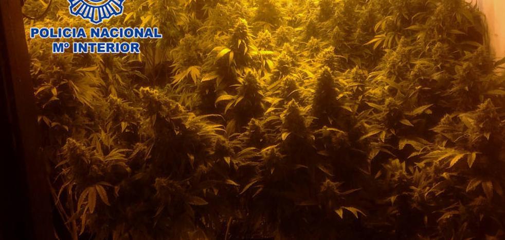Intervenidas más de 150 plantas de marihuana en Murcia