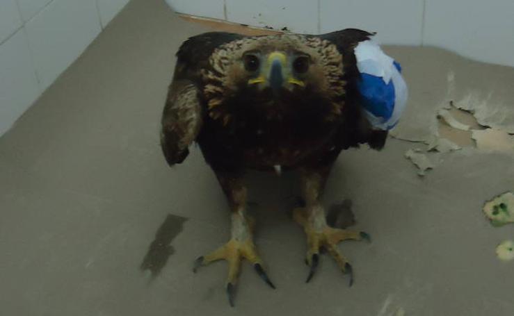 El águila real tiroteada en Sierra Espuña regresa a la naturaleza