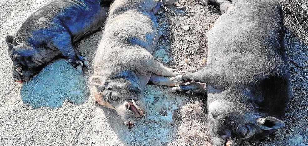 Agentes medioambientales abaten a tres 'cerdalíes' por el riesgo para la población