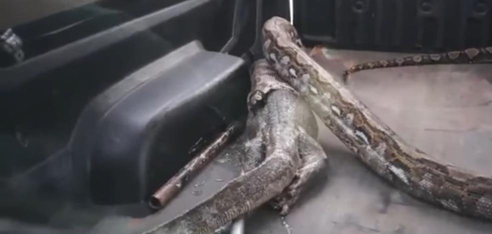 Una pitón regurgita un caimán en Tailandia