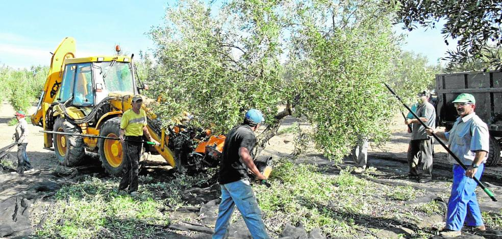 La producción murciana de aceite de oliva se disparará casi un 45%