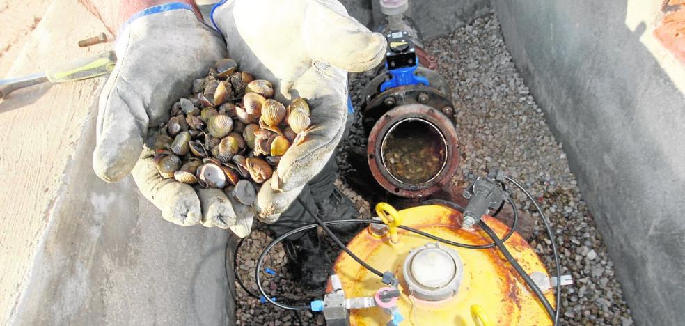 La almeja asiática invade ya 45 kilómetros en el Segura y se expande por canales de riego