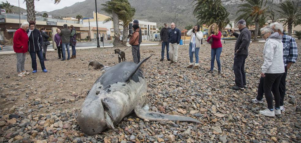 Las olas arrastran un calderón muerto a la playa de La Azohía