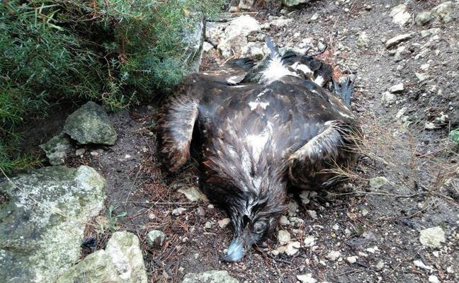Cae un águila real en el Monte Arabí