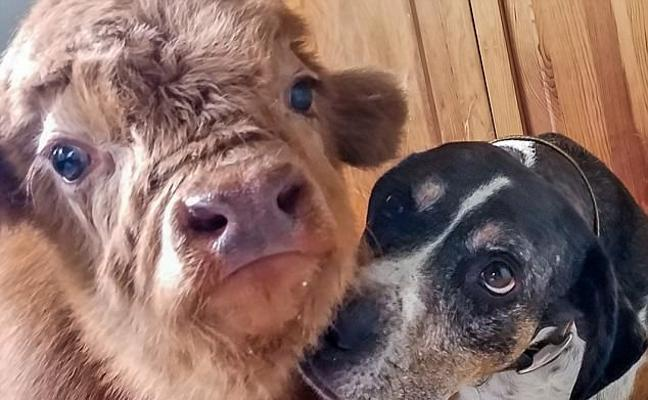 James, el toro que se cree un perro, cautiva a la red