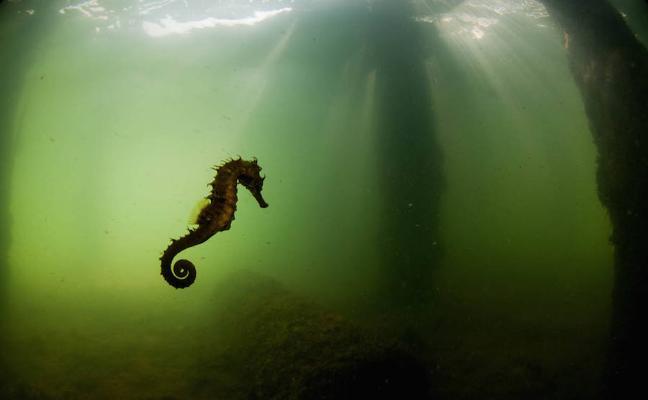 El caballito del Mar Menor, casi desaparecido