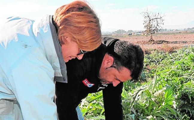 Los cultivos de alcachofa reciben otro varapalo al repetirse las heladas