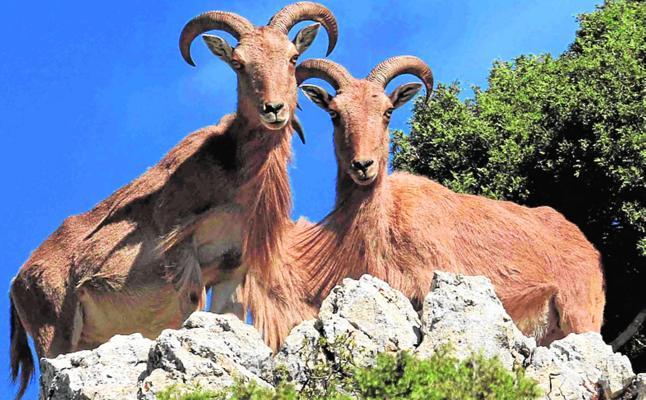 Los ungulados silvestres recolonizan la Región