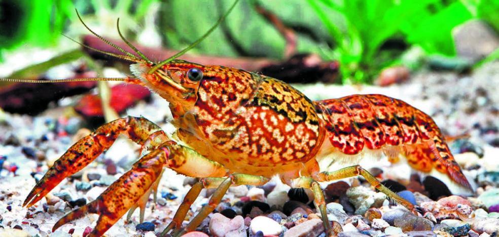 Un grupo de científicos descubre un cangrejo mutante