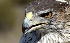 Las aves esteparias descienden en picado
