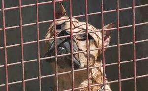 Las multas por el control de perros peligrosos en Murcia se disparan en el último año