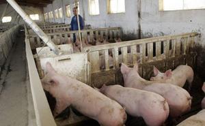 La Comunidad ampliar hasta el 20% la actual capacidad máxima de las granjas de cerdos