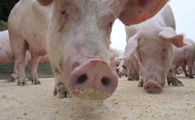 Las granjas porcinas podrán ampliar un 20% su capacidad