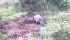 Un rinoceronte bebé trata de amamantarse de su madre abatida a tiros