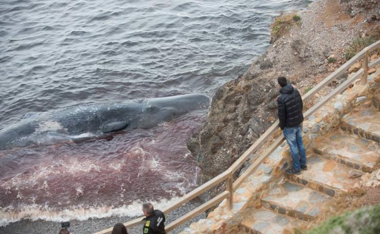 El oleaje arrastra un cachalote muerto a una playa de Cabo de Palos
