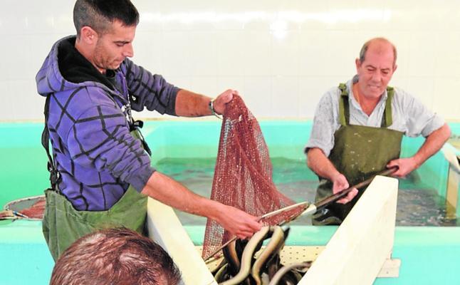 Anse y los pescadores estudian las causas del descenso de la población de anguilas