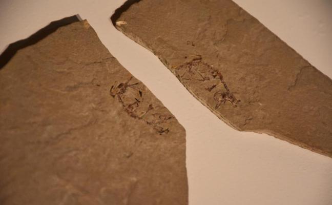 El fósil de un ave nacida hace 125 millones de años revela que crecían a enorme velocidad