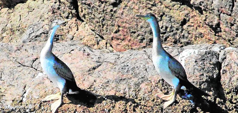 Anillan por primera vez los pollos de cormorán moñudo de la isla de Escombreras para estudiar sus hábitos